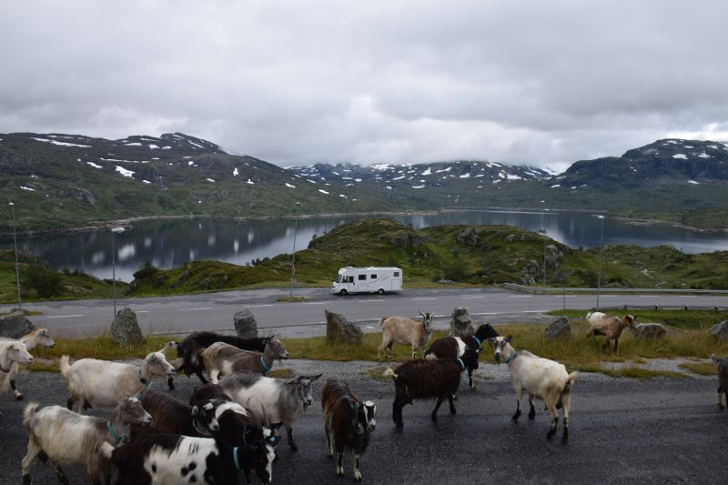 These goats actually latched onto me and crossed the main road trying to get into the van.  Took a while to shoo them away!