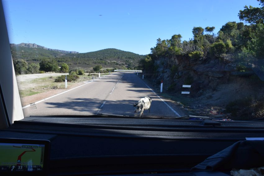 Wild pig on the main road in South Eastern Sardinia